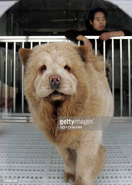 TO GO WITH ChinaanimalsdogsBeijing A purebred Chow Chow puppy waits for a buyer at the Aisida canine market in Beijing 24 November 2006 With threats...
