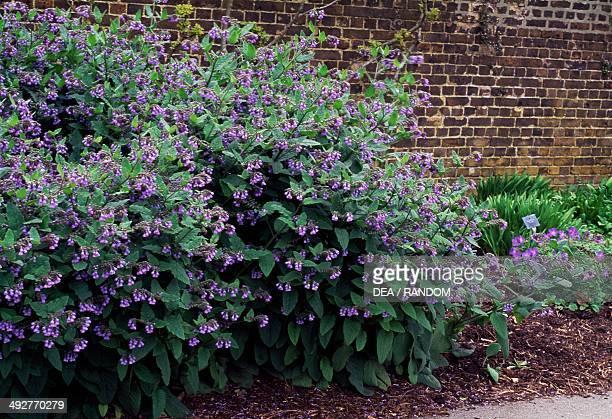 Beinwell Blue Comfrey or Caucasian Comfrey Boraginaceae
