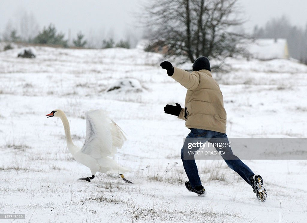 Belarus emergencies ministry workers and ornithologists try to catch a sick swan on lake near the village of Shvaby, some 95 km north of Minsk, on December 6, 2012, to transport the bird to an unfrozen lake near the Belarus capital. AFP PHOTO / VIKTOR DRACHEV
