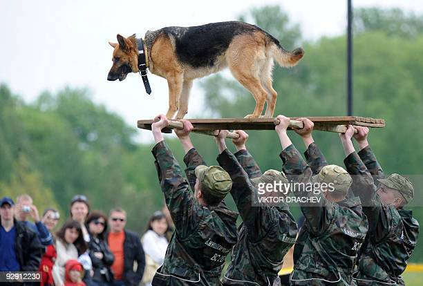 A Belarussian military dog rides a platform being held by a group of soldiers carrying it above their heads in Minsk on May 19 2009 during the...