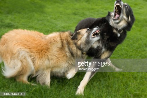 Belgian collie and mixed breed shepherd roughhousing (blurred motion) : Stock Photo