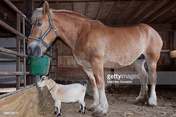 Belgian draft horse and African pygmy goat