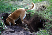 Belgian Malinois is fanatically digging a hole. Holland, Well october 2016