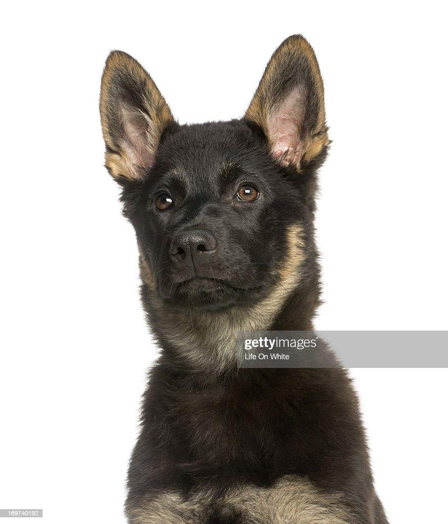 Belgian Shepeherd puppy : Stock Photo