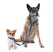 belgian shepherd dog and chihuahua in front of white background