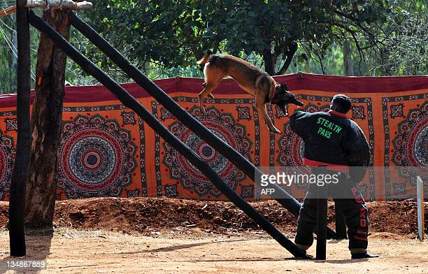 A Belgian Shepherd Dog leaps from a pedestal towards its handler as part of a demonstration given to display the dog's agility during the...