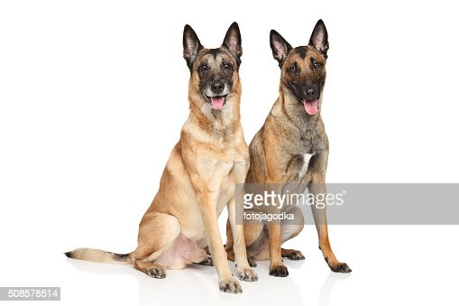 Belgian shepherd dog Malinois on a white background : Stock Photo