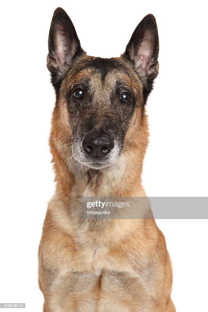 Belgian Shepherd dog Malinois : Stockfoto