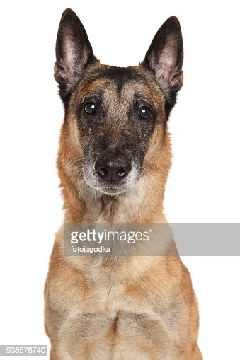 Belgian Shepherd dog Malinois : Stockfoto