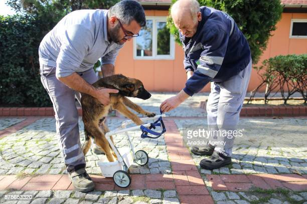 Belgian Shepherd mixedbreed 'Reks' paralyzed in back legs 4monthold is seen at a shelter in Istanbul Turkey on November 14 2017 Shelter vets and...