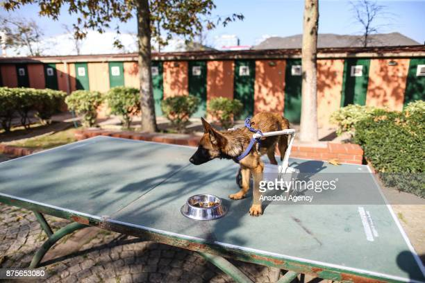 Belgian Shepherd mixedbreed 'Reks' paralyzed in back legs 4monthold eats his breakfast at a shelter in Istanbul Turkey on November 14 2017 Shelter...