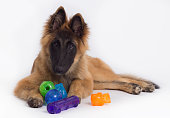 Belgian Shepherd Tervuren puppy, six months old, laying down on shiny white floor, playing with colored toys, white studio background