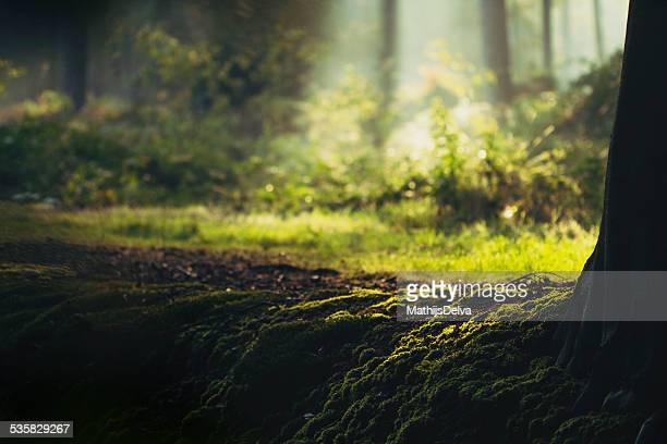 Belgium, Flanders, West Flanders, Brugge, Moss on tree root with sunlit forest glade in background