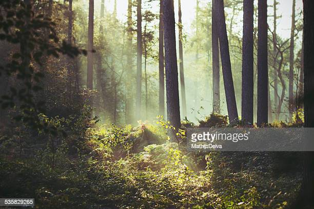 Belgium, Flanders, West Flanders, Brugge, Sunbeam lighting a patch of underbrush in forest