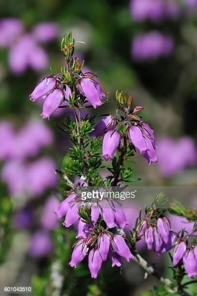Bell heather / heatherbell in flower