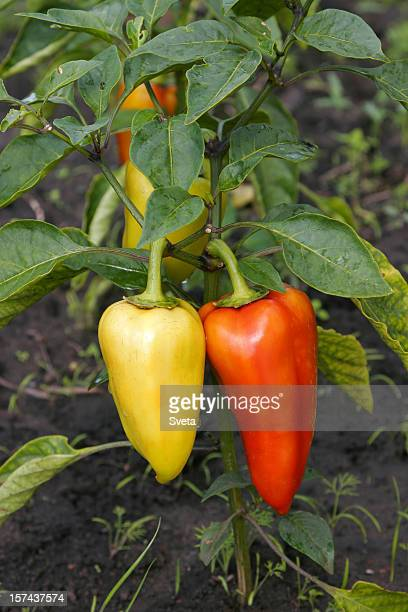 Bell Peppers: Yellow and Red