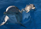 Bella a Bottlenose Dolphin swims in a pool with her new calf named Mirabella at Six Flags Discovery Kingdom on January 17 2014 in Vallejo California...