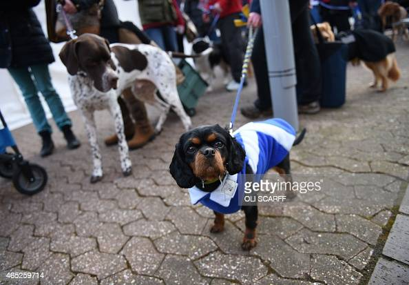 Bella a Cavalier King Charles Spaniel wears a coat bearing the Scottish Saltire flag as she arrives on the first day of the Crufts dog show at the...
