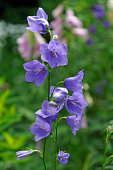 Bellflowers -Campanula sp.-, Middle Franconia, Bavaria, Germany