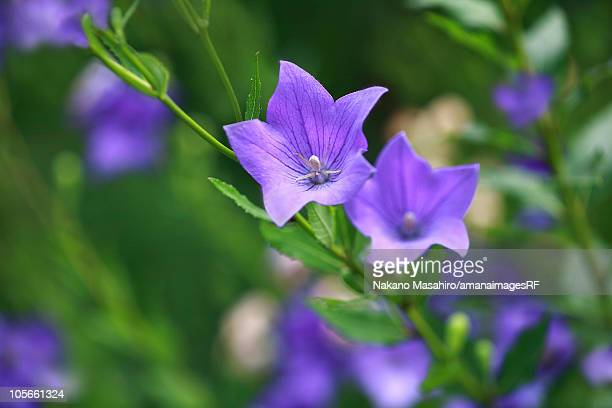 Bellflowers, close up, differential focus