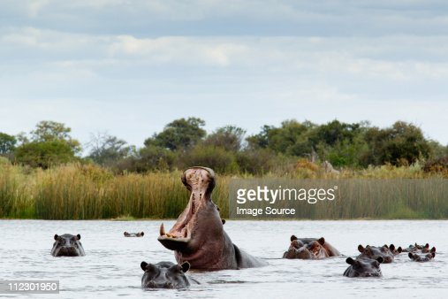 Belligerent hippo in river : Stock Photo