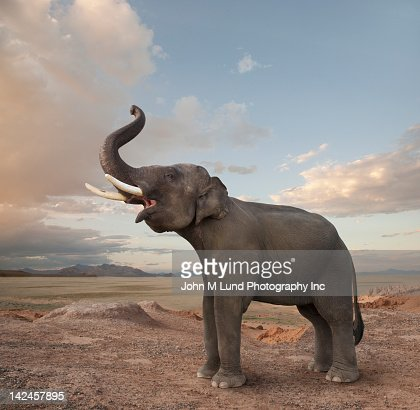 Bellowing elephant in the desert : Stock Photo