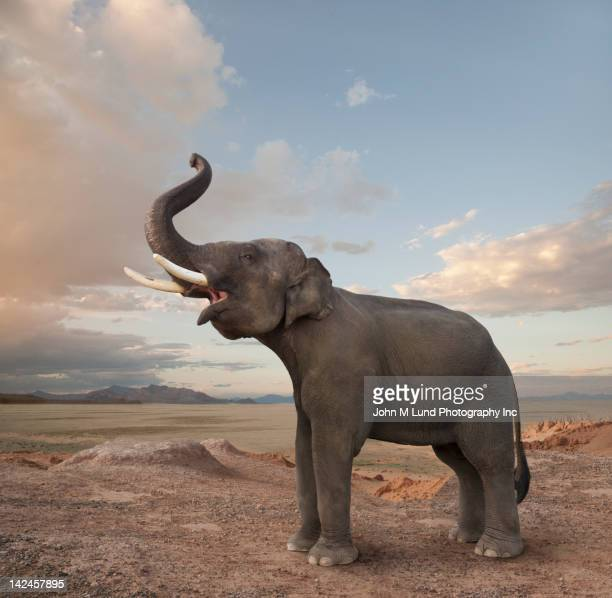 Bellowing elephant in the desert