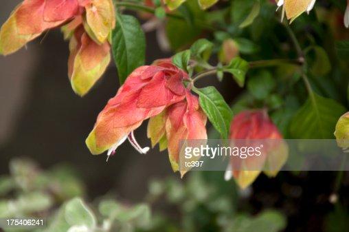 Beloperone Guttata Flower / Shrimp Plant