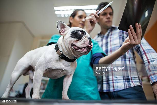Below view of a bulldog with an owner at vet's.