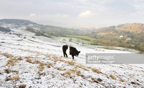A Belted Galloway cow feeds on Birdlip Hill Gloucestershire as temperatures across the UK are set to plummet to as low as 10C this week with cutting...