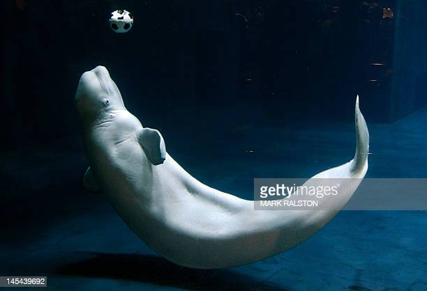 A beluga whale plays with a football at the Beijing Aquarium on May 30 2012 The aquarium which is the largest in China and shaped like a huge conch...