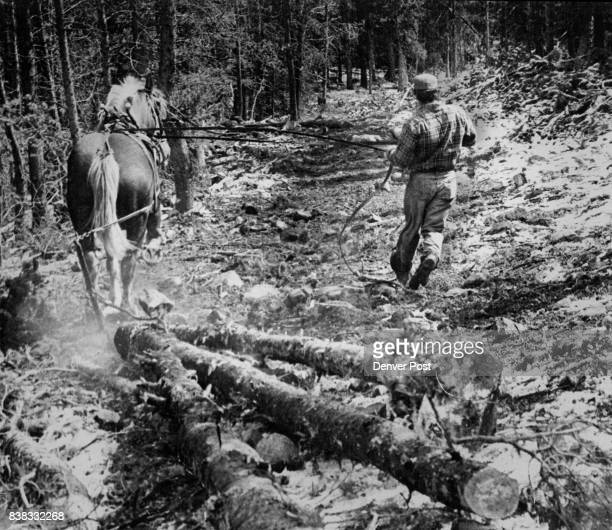 Ben skids logs down the ski run being cleared at Lake Eldora Ben can skid out as much timber in a day as his mechanical counterpart Credit Denver Post