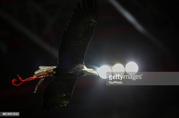 Benficas eagle quotVitoriaquot flies over the pitch during the Champions League football match between SL Benfica and Manchester United at Luz...