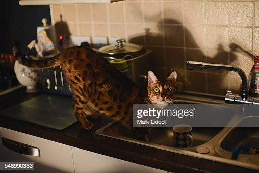 Bengal cat in sink