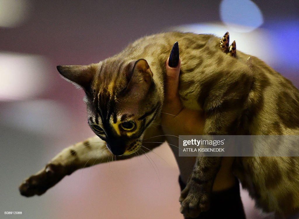 A Bengal cat is lifted in front of the jury by its owner in Lurdy House in Budapest on February 7, 2016, during a two-day international cat exhibition and fair in the Hungarian capital. / AFP / ATTILA KISBENEDEK