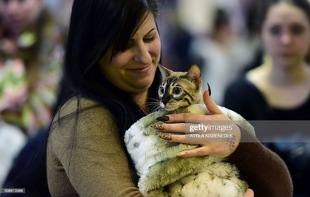 A Bengal cat is presented to the jury by its owner in Lurdy House in Budapest on February 7, 2016, during a two-day international cat exhibition and fair in the Hungarian capital. / AFP / ATTILA KISBENEDEK