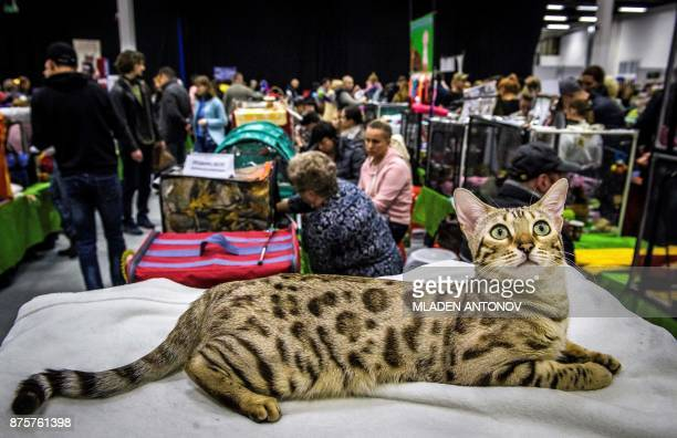 A Bengal cat is seen during the 'Valencia Cup' international cat exhibition in Moscow on November 18 2017 / AFP PHOTO / Mladen ANTONOV