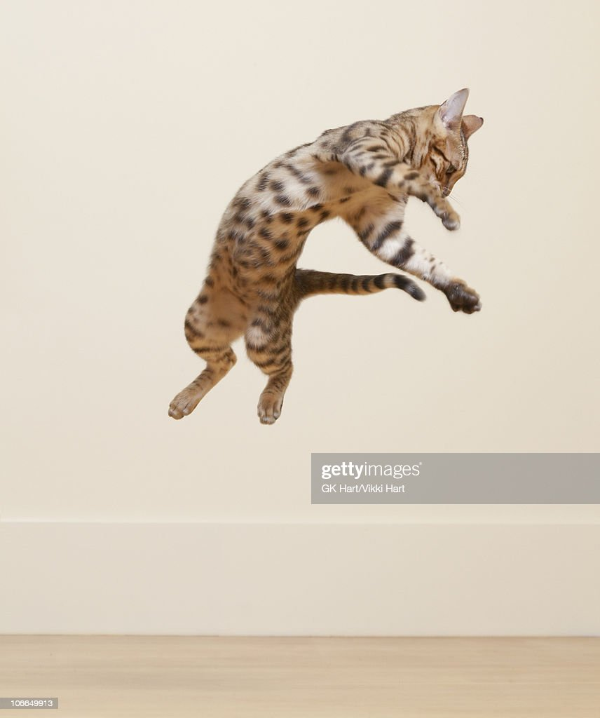 Bengal Cat jumping in the air : Stock Photo