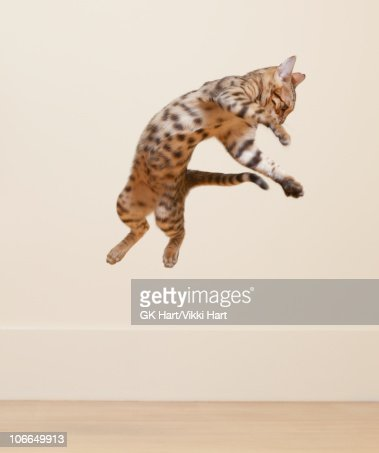 Bengal Cat jumping in the air : ストックフォト