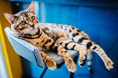 Bengal cat lies on grey chair