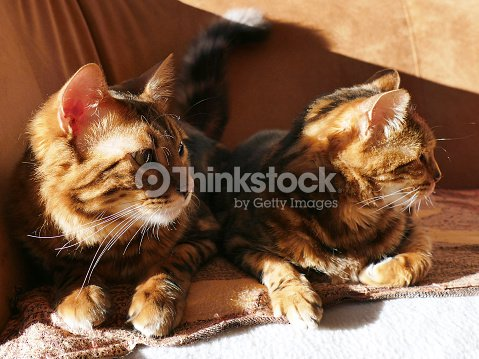 6ec1db225d Bengal cat  Marble bengal cashmere cat and marble bengal cat   Stock Photo
