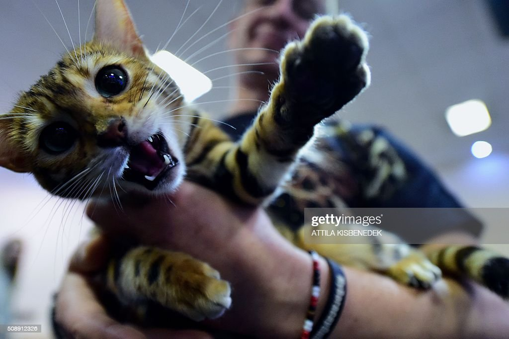 A Bengal cat plays with its owner in Lurdy House in Budapest on February 7, 2016, during a two-day international cat exhibition and fair in the Hungarian capital. / AFP / ATTILA KISBENEDEK