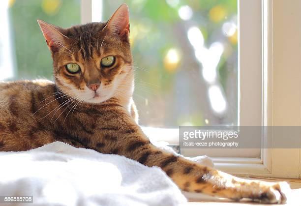 Bengal cat relaxing in the sun