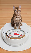 Bengal Cat sitting on Scale