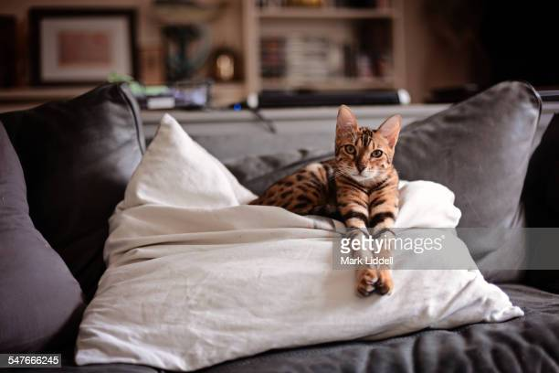 Bengal cat stretching on a cushion