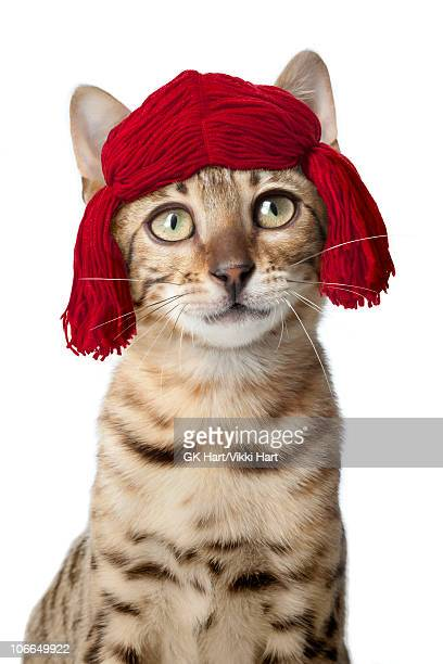 Bengal Cat wearing red yarn wig
