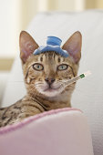 Bengal Cat with Hot Water Bottle and Thermometer