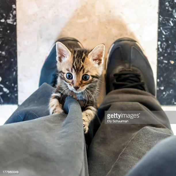 Bengal kitten climbing