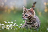 Bengal Kitten in the Grass, 7 Weeks young
