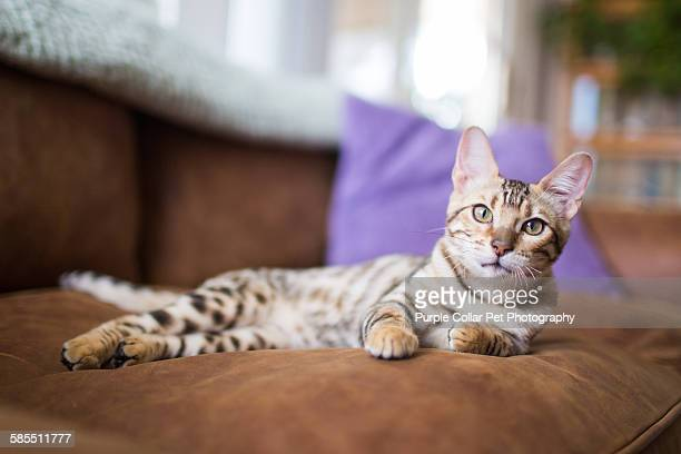 Bengal kitten laying on couch